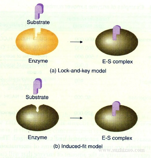 enzymes-01